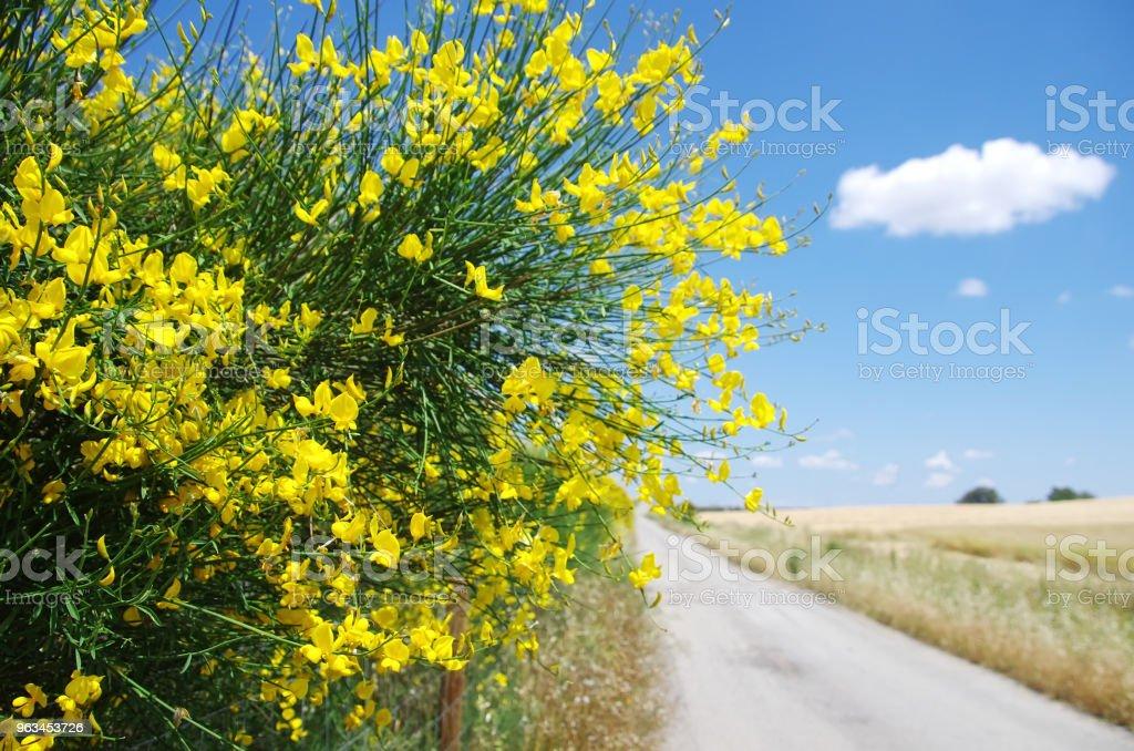 Eski road yakınındaki vahşi katırtırnağı, çiçekler - Royalty-free Ağaç Çiçeği Stok görsel