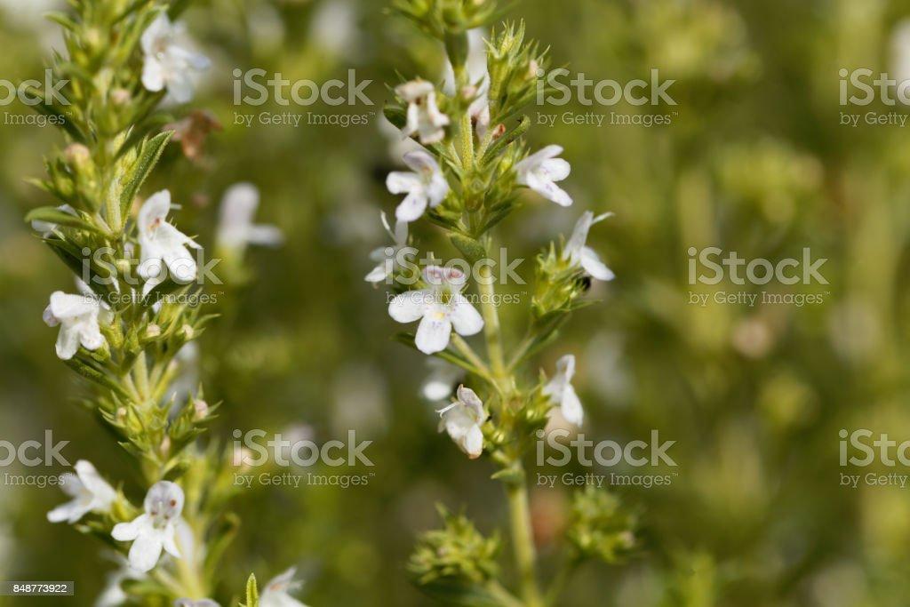 Blumen Winter Bohnenkraut, Satureja montana – Foto