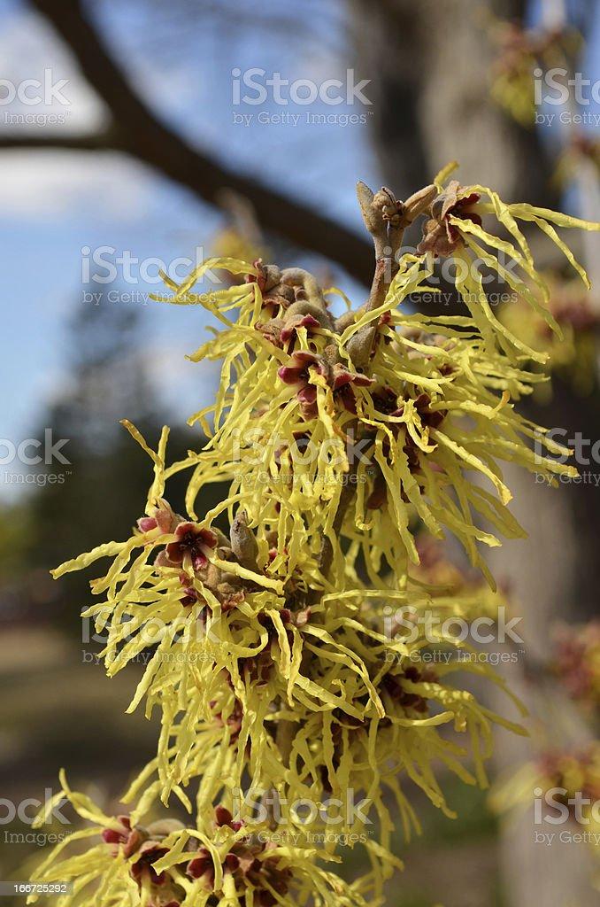 Flowers of Witch Hazel royalty-free stock photo