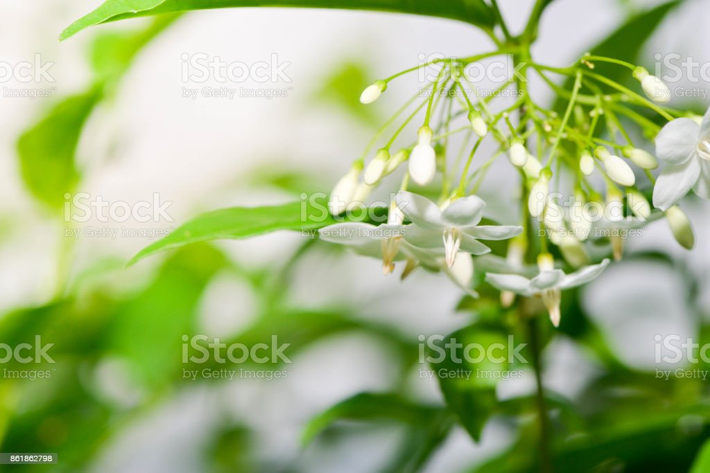 Flowers of wrightia religiosa with sunlight stock photo