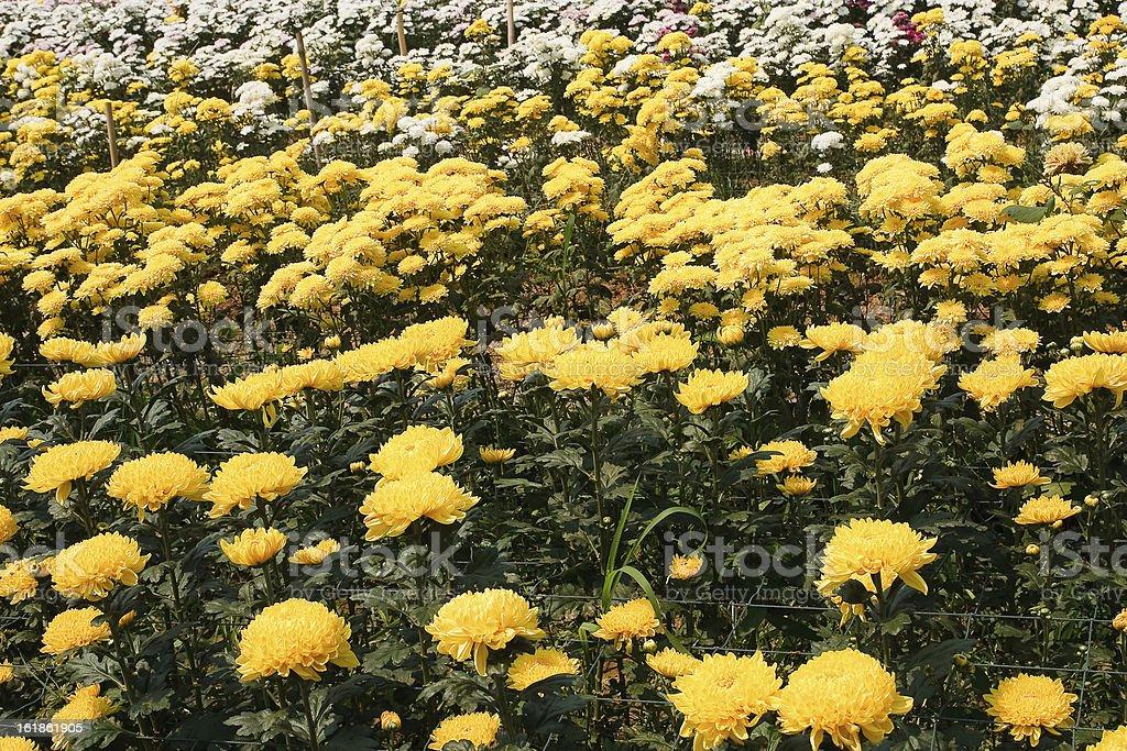 flowers of yellow chrysanthemums royalty-free stock photo