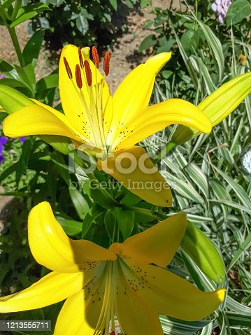Flowers of yellow lilies on the flowerbed. lily blossoms.