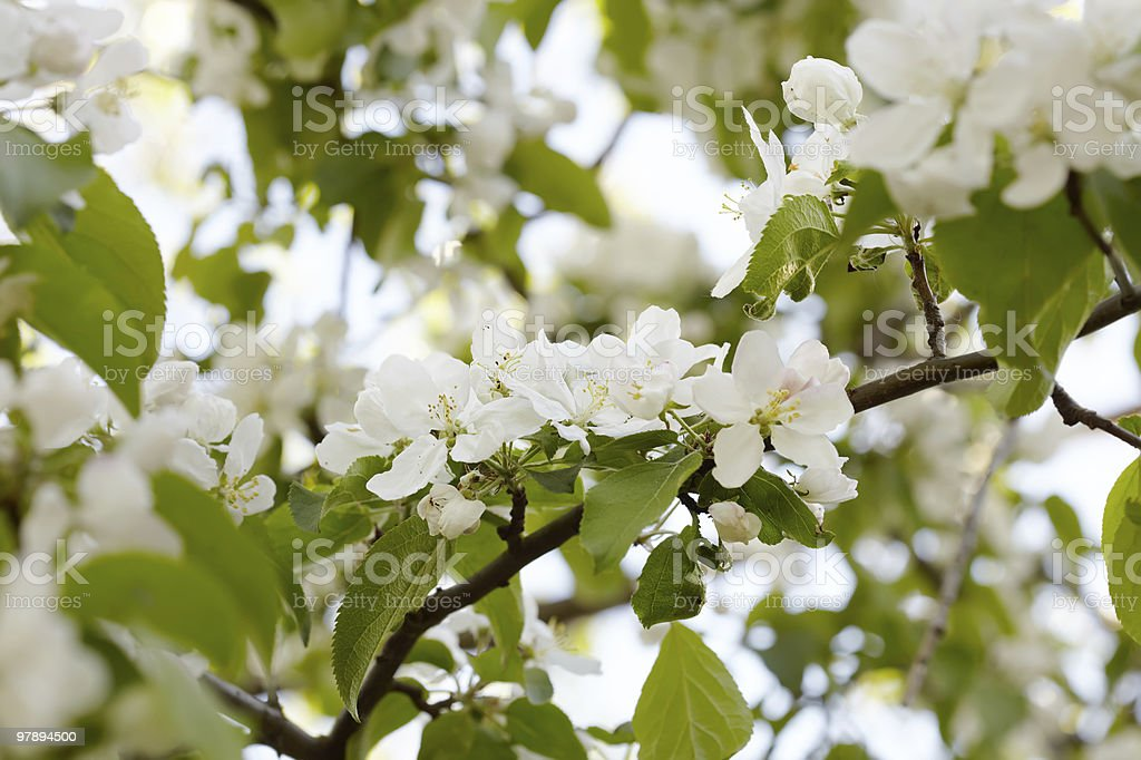 Flowers on an apple-tree branch royalty-free stock photo