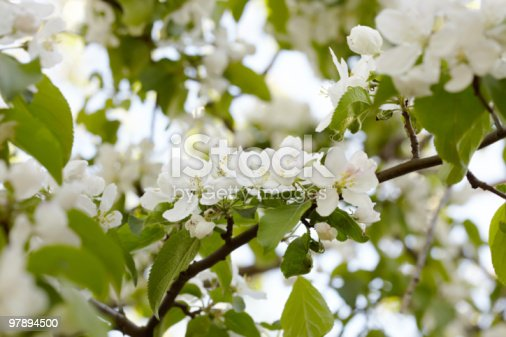 Flowers On An Appletree Branch Stock Photo & More Pictures of Agriculture
