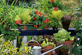 aromatic plants and tomatoes in pot