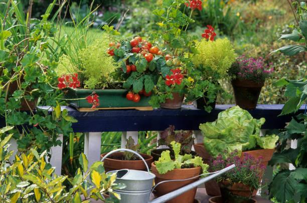blommor på balkongen - körsbärstomat bildbanksfoton och bilder