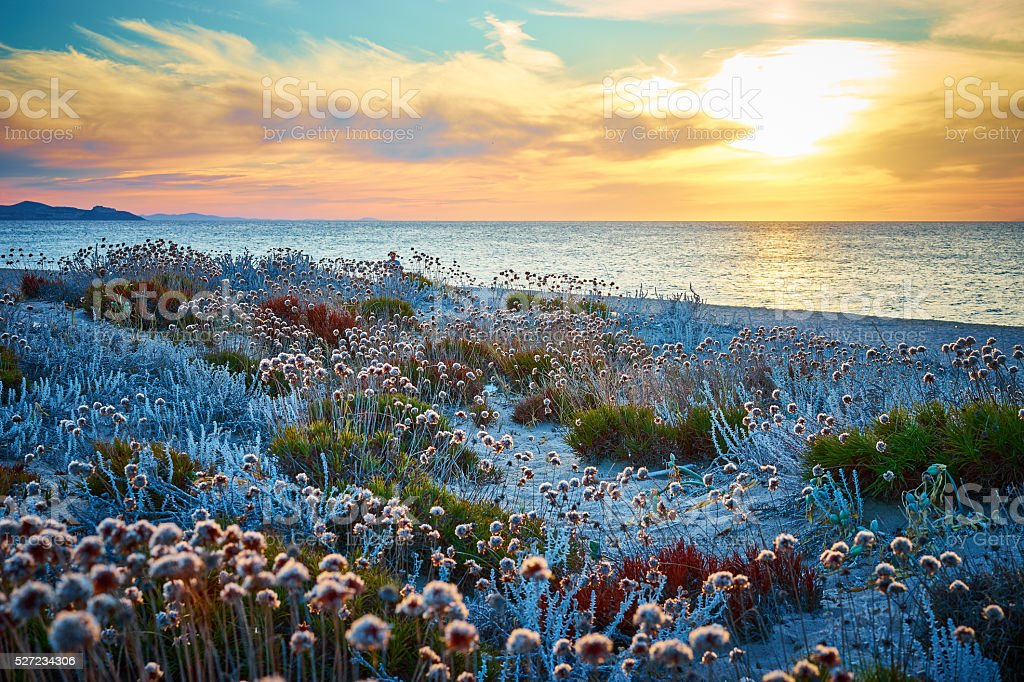 Flowers on beach at sunset in Sardinia - Italy stock photo