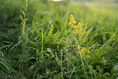 Beautiful yellow flower and fresh spring green grass