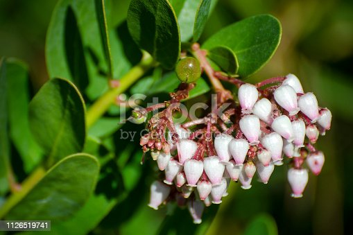 Close up of flowers on manzanita, Arctostaphyles species. California, USA.