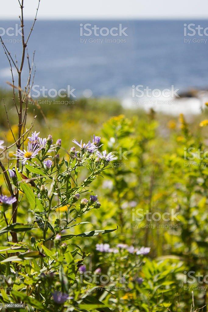 Flowers on Monhegan Island stock photo