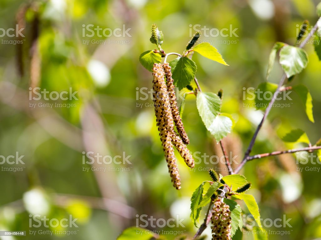 flowers on the birch tree in nature stock photo