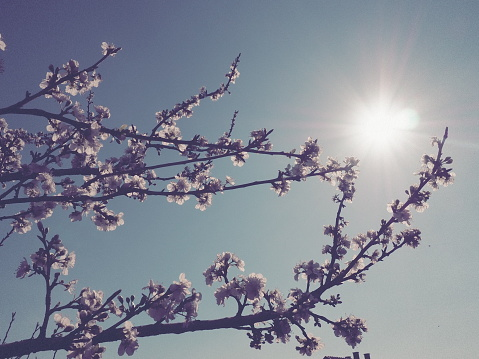 Flowers on the branches against the background of the sky and the sun. Retro style. Beautiful pink flowers and buds. Cherry, apple, plum, peach or apricot southern tree. Spring garden. Sunny weather.
