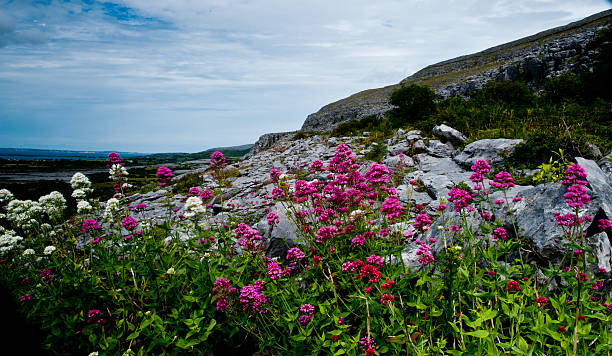 flowers on the burren - the burren stock pictures, royalty-free photos & images
