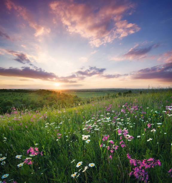flowers on the mountain field during sunrise. beautiful natural landscape in the summer time - prateria campo foto e immagini stock