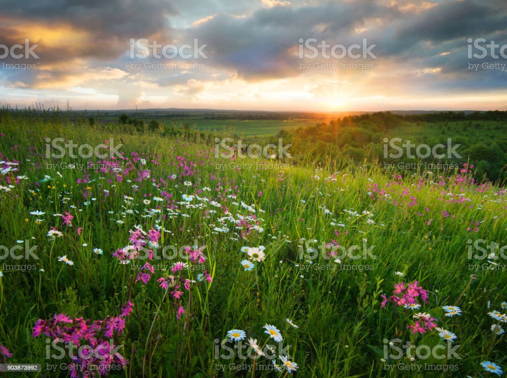 Flowers on the mountain field during sunrise. Beautiful natural landscape in the summer time foto stock royalty-free