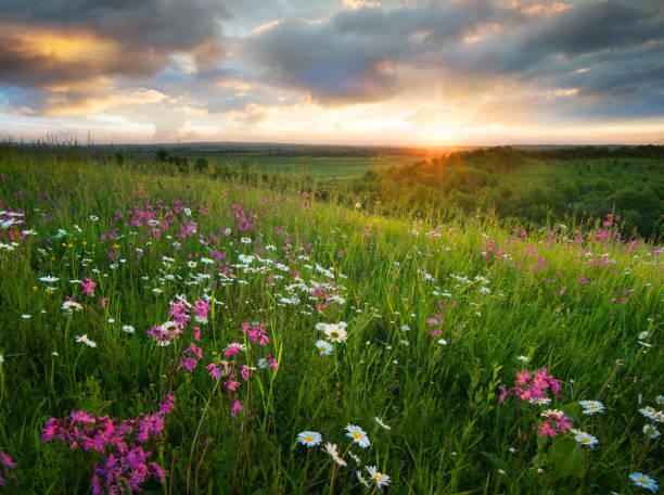 Flowers on the mountain field during sunrise beautiful natural in picture id903873992?b=1&k=6&m=903873992&s=612x612&w=0&h=1cl nrpzisek8lq4tcykn7maw2xwnujczuwkjwbcn70=