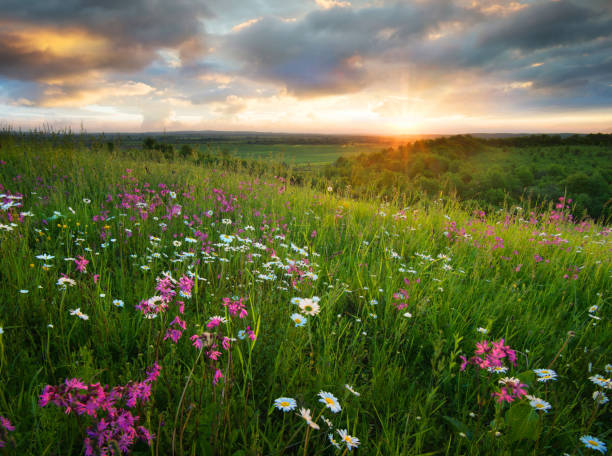 Flowers on the mountain field during sunrise. Beautiful natural landscape in the summer time stock photo