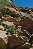 A view of the little purple flowers growing on the red rocks along the hiking trail in the utah summer sunlight.