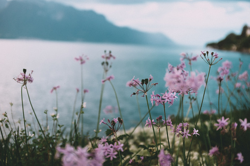 Flowers on the shore of Lake Geneva