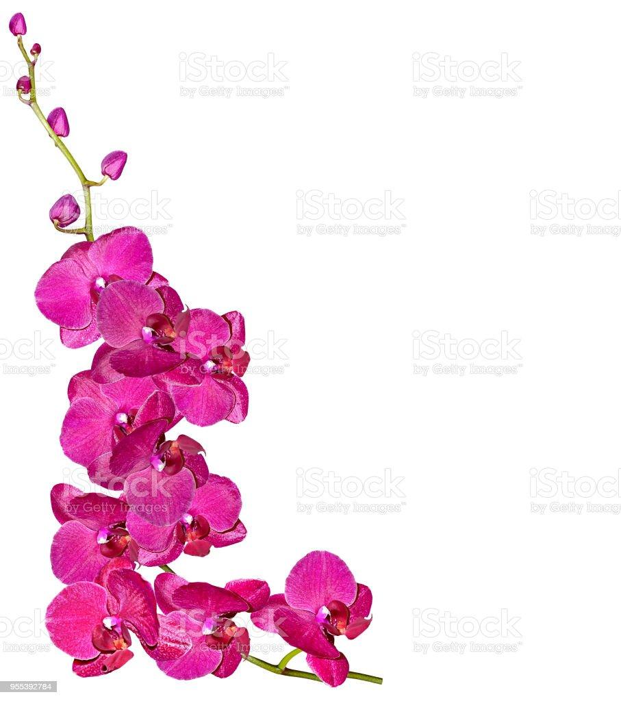 flowers orchid isolated on white background. - Zbiór zdjęć royalty-free (Bez ludzi)