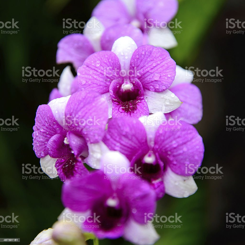 Flowers Orchid ( Dendrobium pink ) on green leaves background royalty-free stock photo