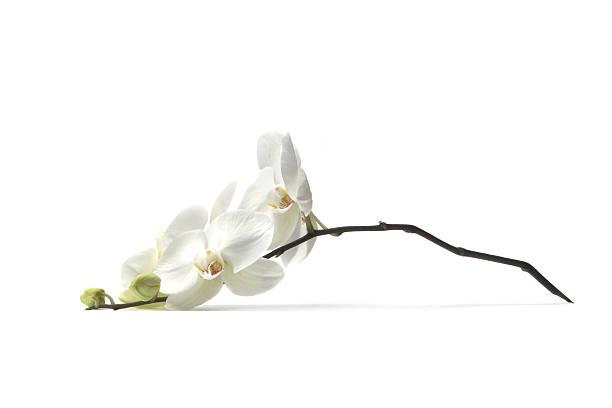 Flowers orchid picture id173034061?b=1&k=6&m=173034061&s=612x612&w=0&h=uubtwx zrxgczmpgpbb0mp0cmb6qcrz1rsczedppnfw=