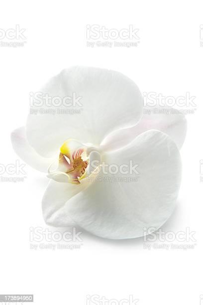 Flowers orchid picture id173894950?b=1&k=6&m=173894950&s=612x612&h=bo2cuvph4vbh4e9 ugtppweotg0wgw9ip 04v6pqdt0=
