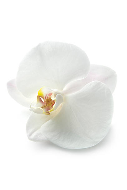 Flowers: Orchid stock photo