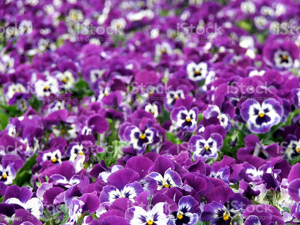 Flowers - Pansies royalty-free stock photo