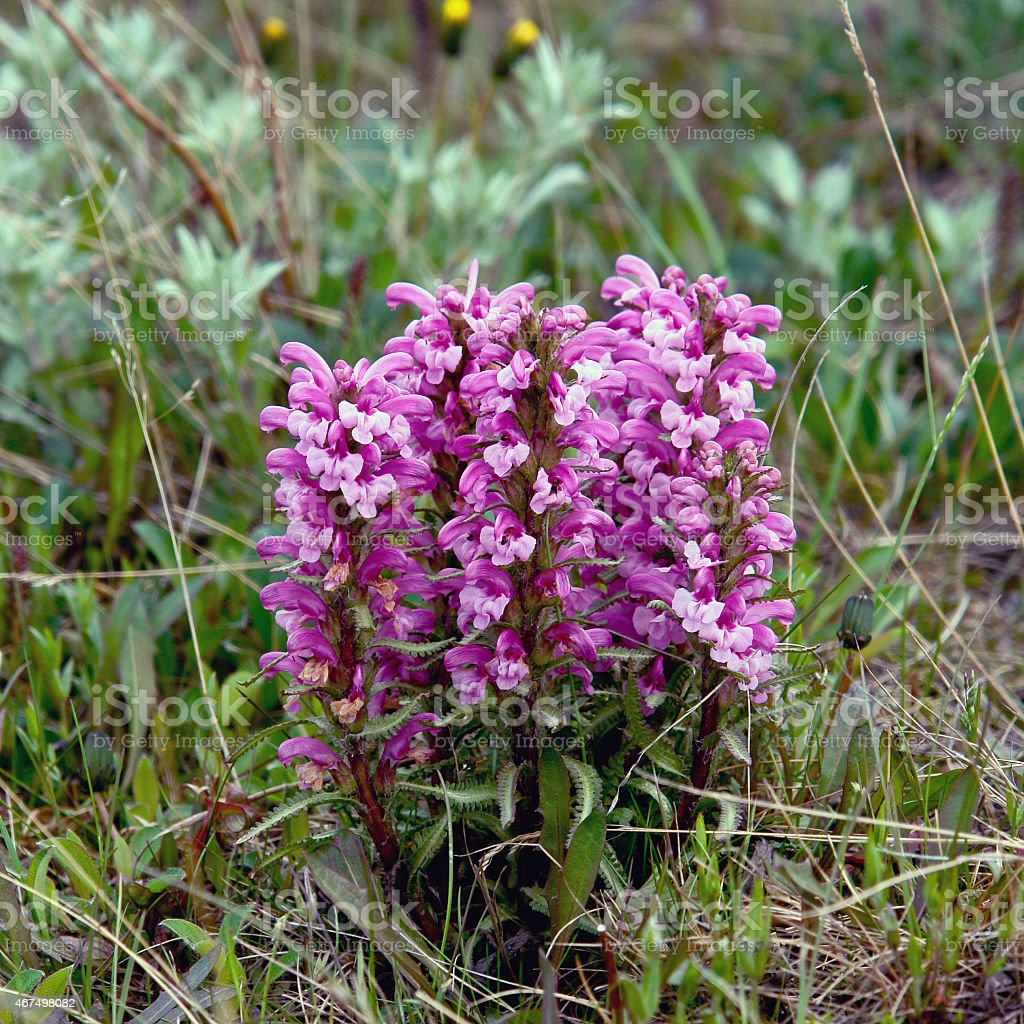 Flowers Pedicularis  in the tundra. stock photo