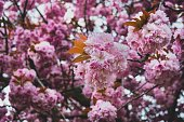 Petals falling. April floral nature. Spring blossom and may flowers on pink. For banner, branches of blossoming cherry against background. Dreamy romantic image, landscape, copy space.