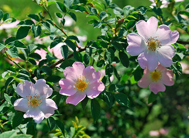 Flowers Flowers of Dog rose dog rose stock pictures, royalty-free photos & images