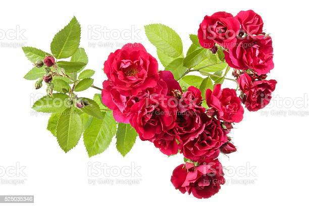 Flowers picture id525035346?b=1&k=6&m=525035346&s=612x612&h=qkuigicvrtyw3zsnke1aplkxw4w 0xdpzzubuwafjkk=