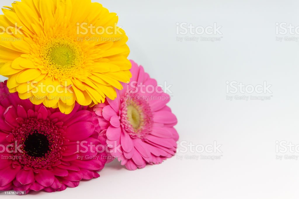 Daisies flowers close up space for text on white background