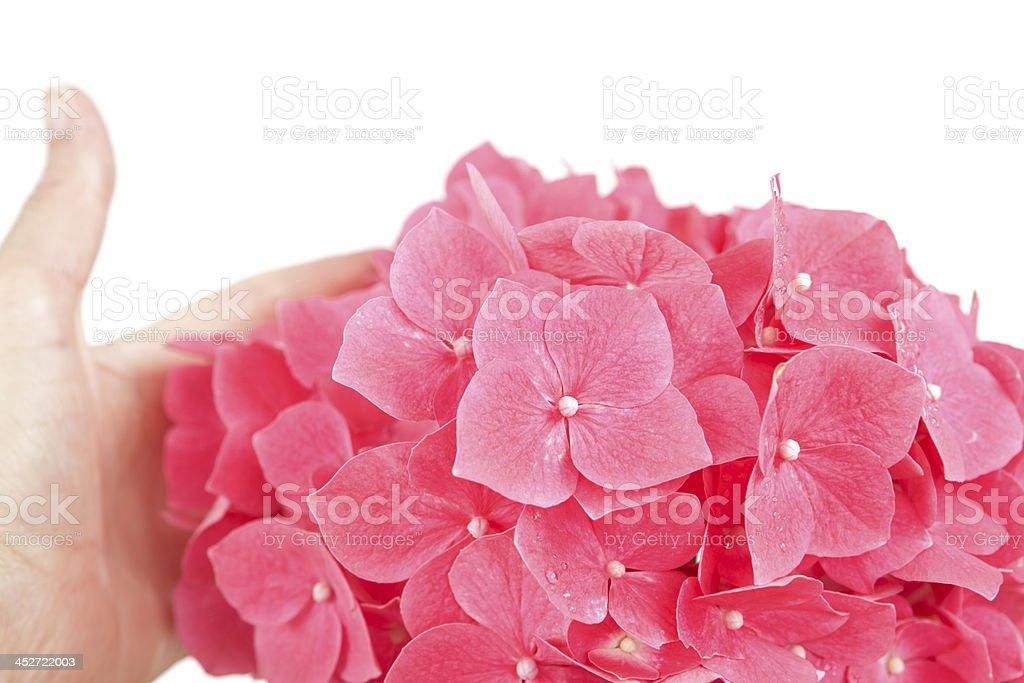 Flowers: Pink Hydrangea royalty-free stock photo