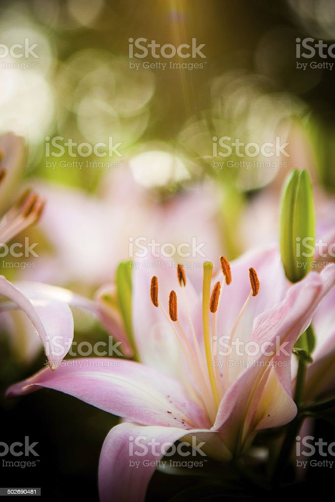 Flowers - Pink Lily stock photo