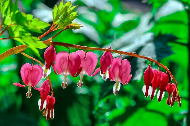 Flowers, Pink Red Bleeding Hearts with green leaves in background stock photo