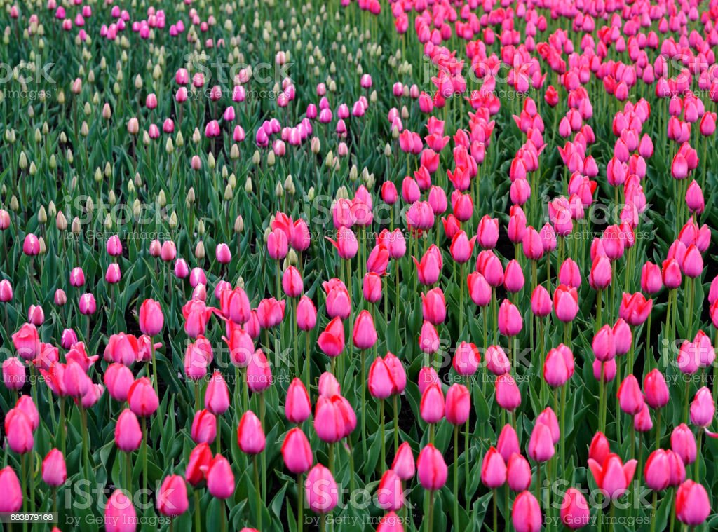 Flowers pink tulip. Bud  of a spring flowers.  Field of beautiful tulips.  Side view.   For design.  Nature. stock photo