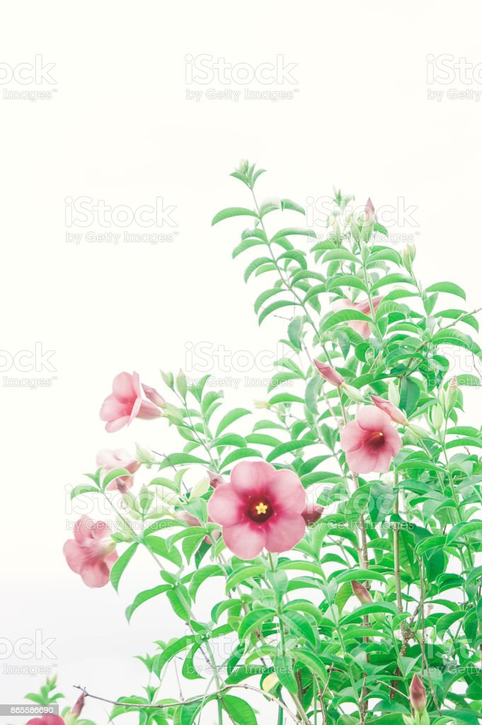 flowers plant  vintage . pink flowers in the garden and copy space stock photo