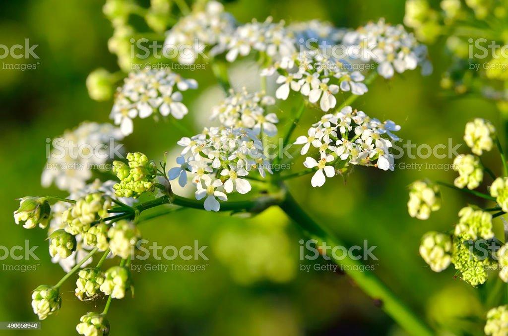 Flowers poisonous hemlock among green leaves in the garden stock photo