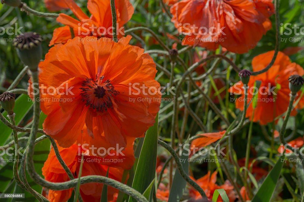 Flowers poppies royaltyfri bildbanksbilder