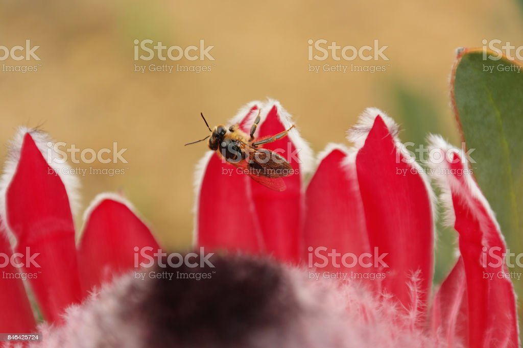 Flowers Protea fynbos petals red pink blossom pollen insect bee stock photo
