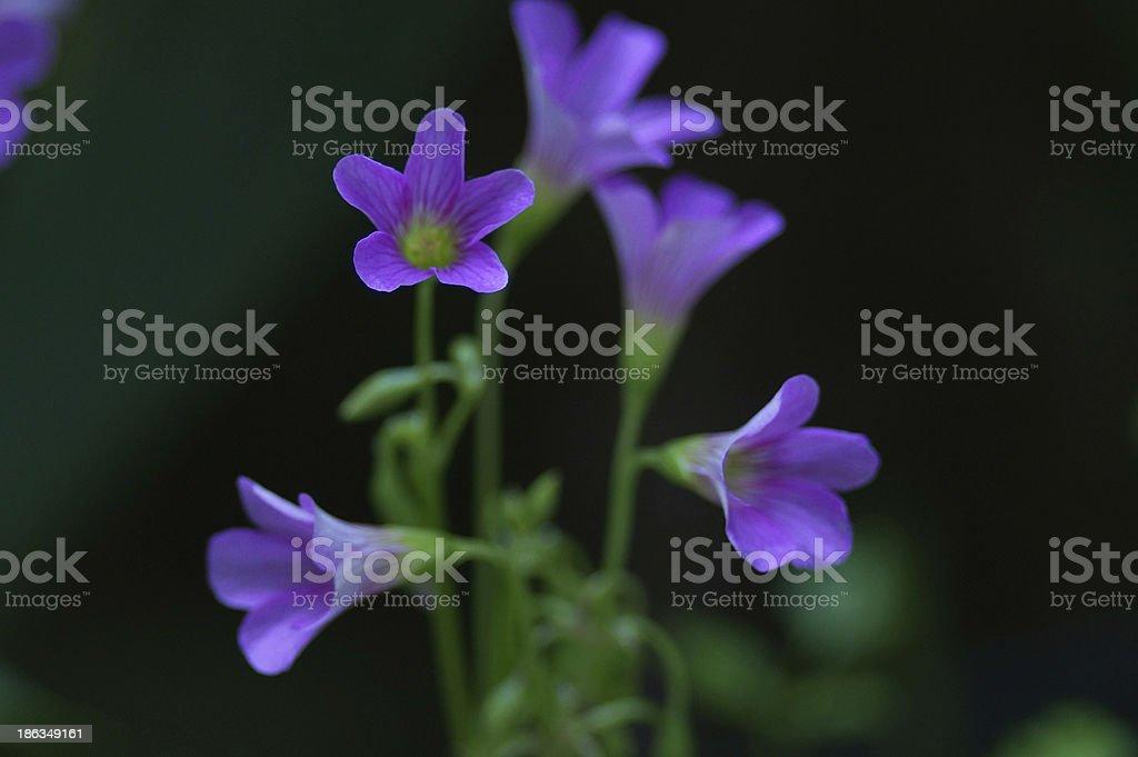 Flowers Purple Macro royalty-free stock photo