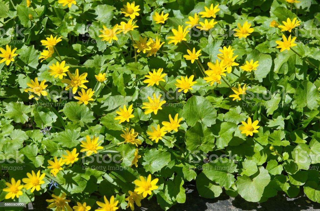 Printemps de fleurs renoncule (lat. Ranunculus ficaria) photo libre de droits