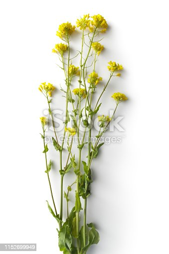 Flowers: Rapeseed Flowers Isolated on White Background