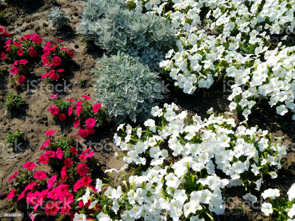 Flowers Red And White Pansies On A Lawn Blooming In Summer Stock