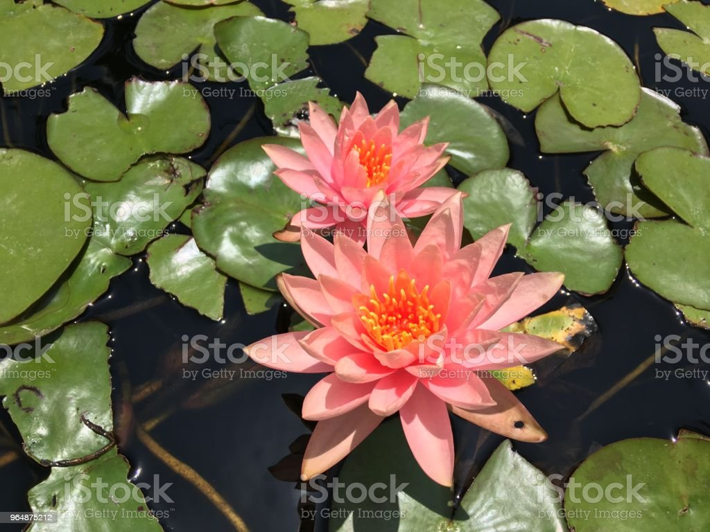 Flowers red lotus royalty-free stock photo