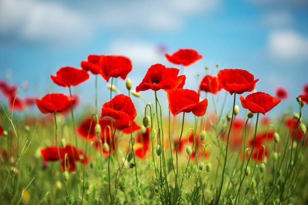 Blumen rote Mohnblumen blühen wilde Feld. Schönen Feld rote Mohnblumen mit selektiven Fokus. weiches Licht. Natürliche Drogen. Lichtung der rote Mohn. Einsamer Mohn. Soft-Fokus Unschärfe - Bild – Foto