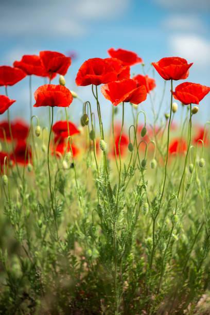 Blumen rote Mohnblumen blühen wilde Feld. Schönen Feld rote Mohnblumen mit selektiven Fokus. weiches Licht. Natürliche Drogen. Lichtung der rote Mohn. Einsamer Mohn. Soft-Fokus Unschärfe - Bild. Vertikale Ausrichtung – Foto