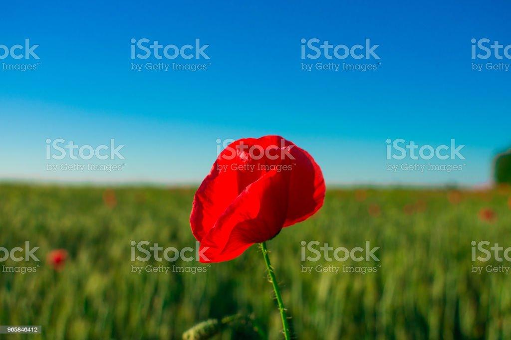 Bloemen rode papavers bloesem op wilde velden. Mooie veld rode papavers met selectieve aandacht. zacht licht. Toning. - Royalty-free Blauw Stockfoto